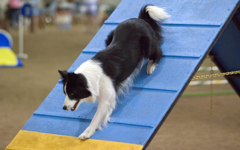 Border_Collie_agility_A-frame